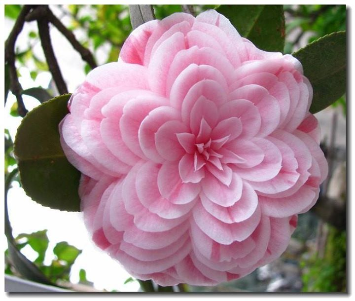 camellia japonica - pink perfection