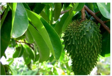 Soursop benefits and medicinal properties: a remedy for ... Soursop Tree In Kerala
