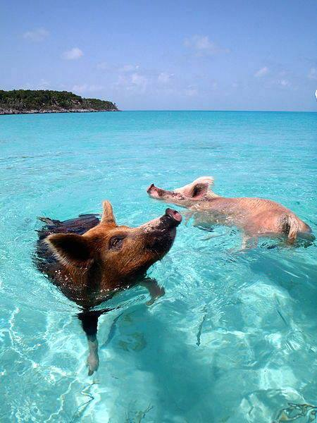 The island of the swimming piglets