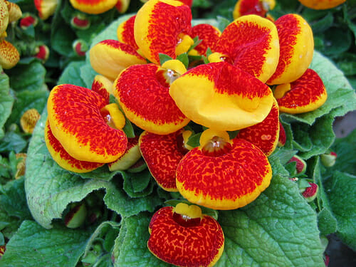 Flowers for a shady balcony: a beatiful Calceolaria