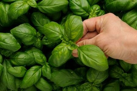 How to get rid of flies naturally: basil