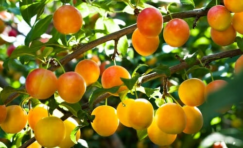 How to grow fruit trees at home