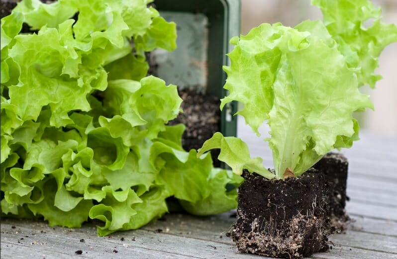 grow salad at home