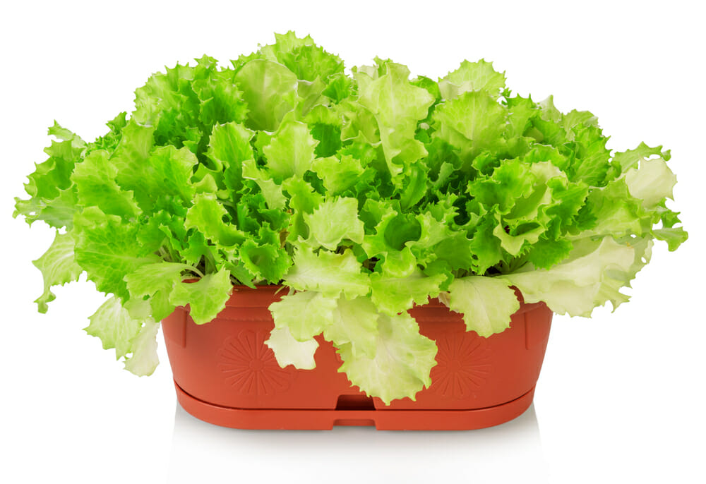 how to grow salad at home Lettuce salad in a pot