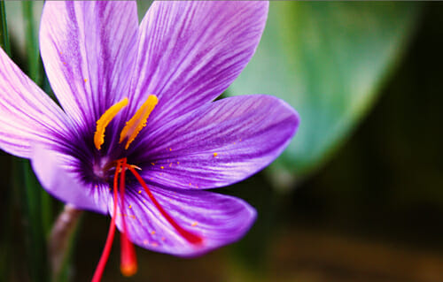 Saffron: recipes, prices, side effects and properties